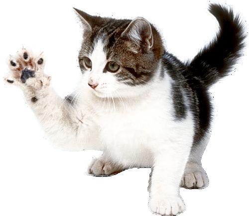Tout Savoir Sur Le Chat Protection Animaux