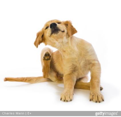 La puce peut être la cause d'allergie chez votre animal.