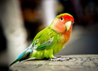 Petit perroquet multicolore avec un bec blanc posé sur un rocher