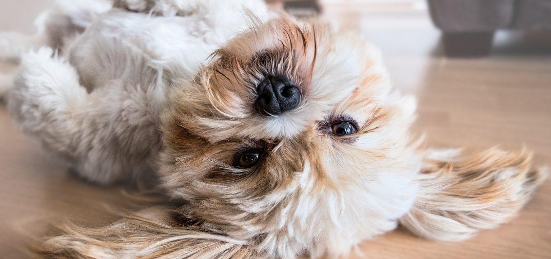 petit chien couché sur le dos
