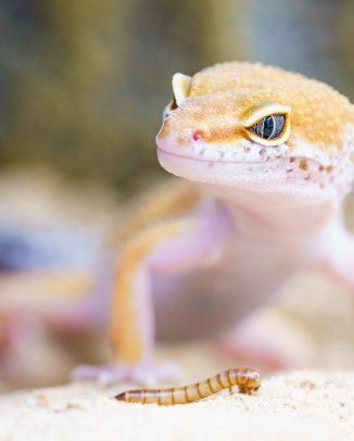ver de farine devant un Gecko